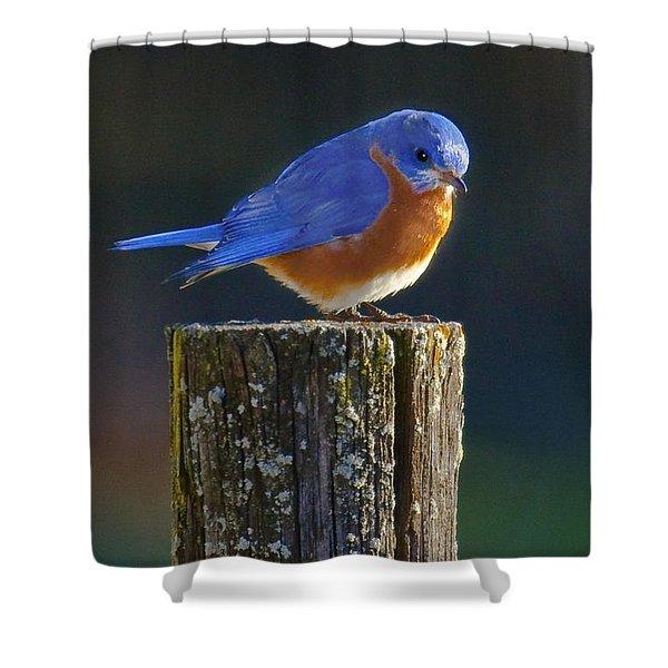 Male Bluebird Shower Curtain