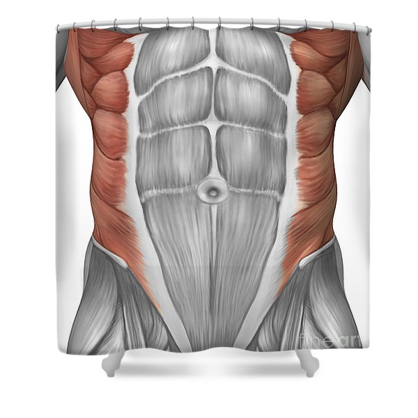Male Muscle Anatomy Of The Abdominal Shower Curtain
