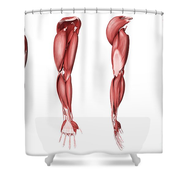 Medical Illustration Of Human Arm Shower Curtain