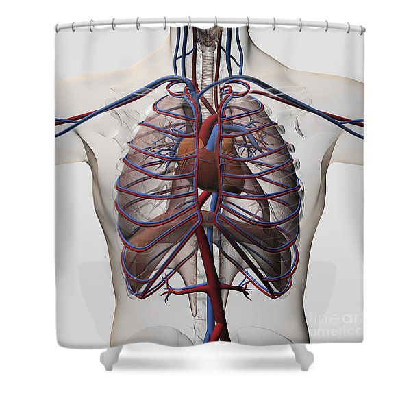 Medical Illustration Of Male Chest Shower Curtain