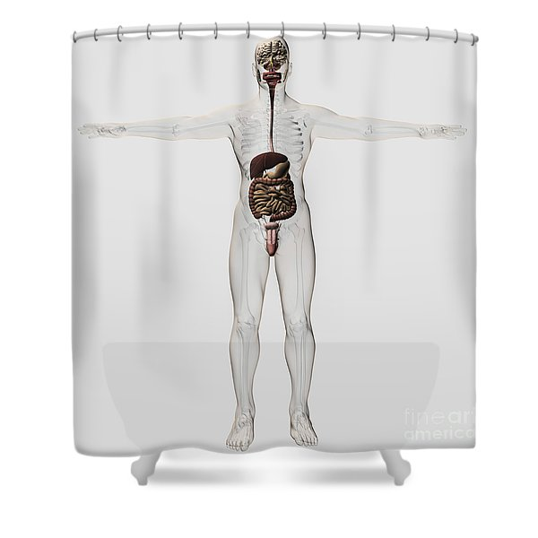 Medical Illustration Of Male Digestive Shower Curtain