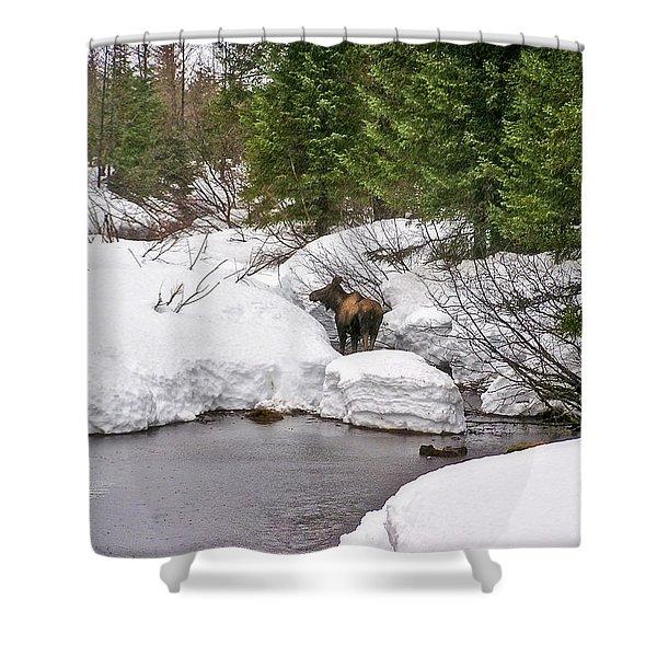 Moose In Alaska Shower Curtain