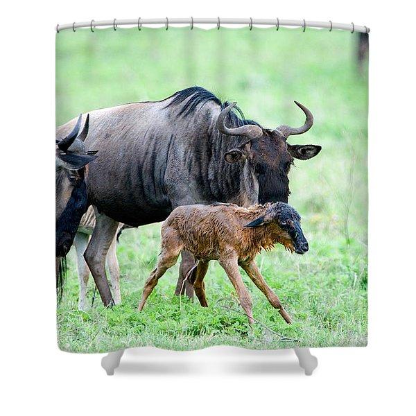 Newborn Wildebeest Calf Shower Curtain