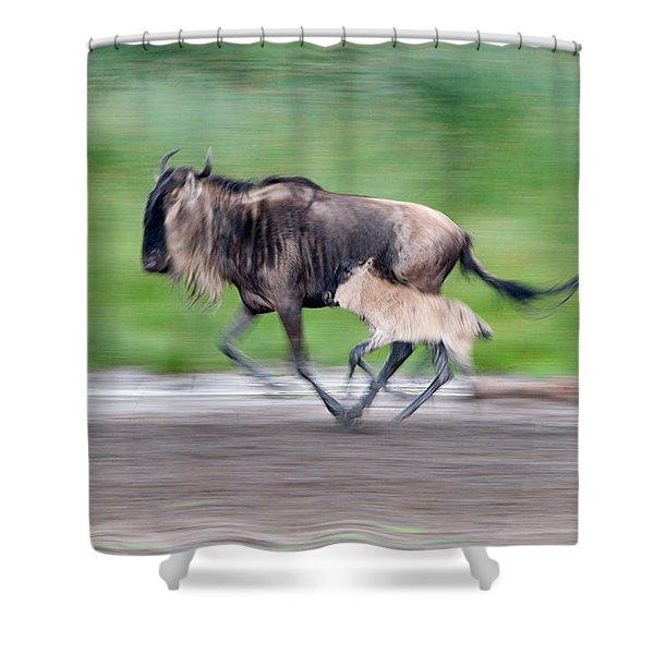 Newborn Wildebeest Calf Running Shower Curtain