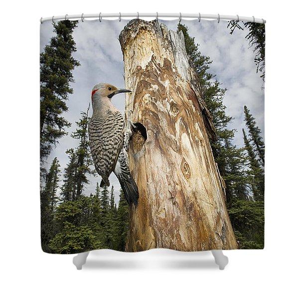 Northern Flicker At Nest Cavity Shower Curtain