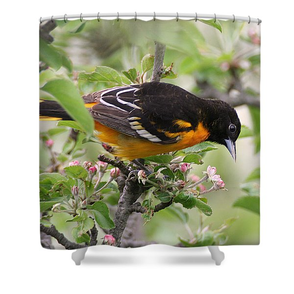Shower Curtain featuring the photograph Oriole With Apple Blossoms by William Selander