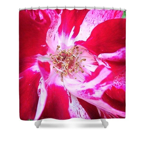 Peppermint Swirls Shower Curtain