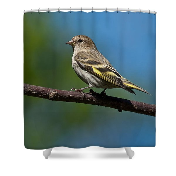 Pine Siskin Perched On A Branch Shower Curtain