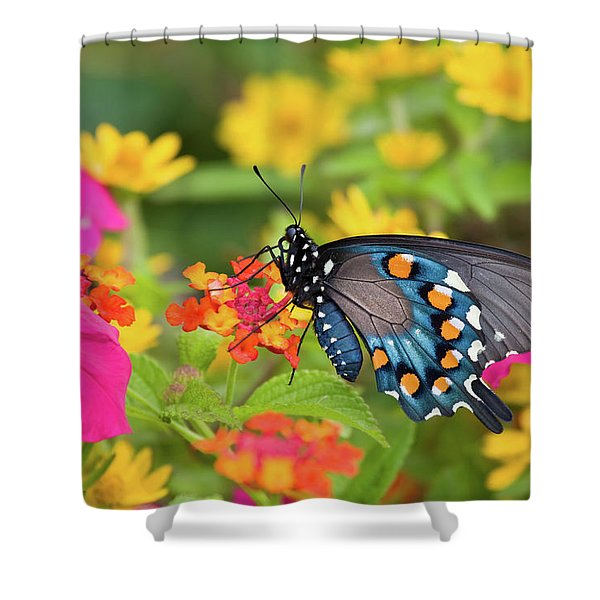 Pipevine Swallowtail Battus Philenor Shower Curtain