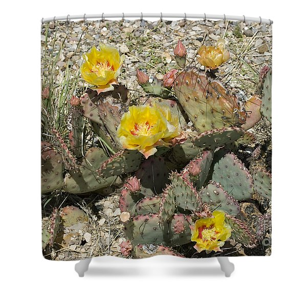 Prickly Pear Blooming In Big Bend Shower Curtain