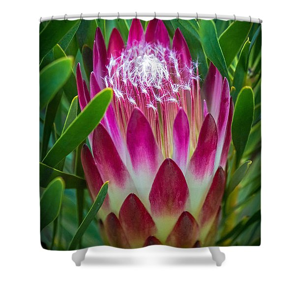 Protea In Pink Shower Curtain