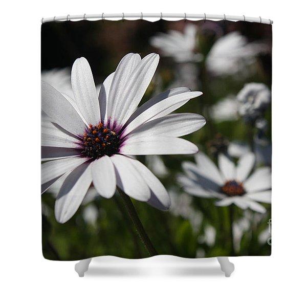 Purple Daisies 2 Shower Curtain