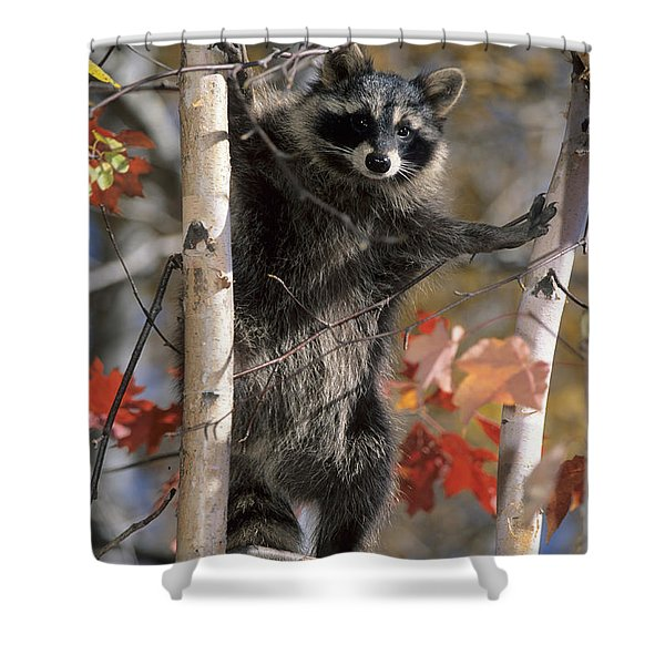 Racoon In Tree Shower Curtain
