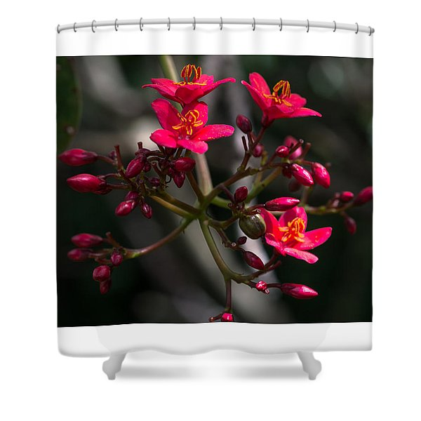 Red Jatropha Blossoms Shower Curtain