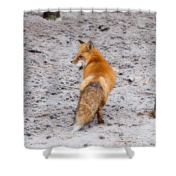 Shower Curtain featuring the photograph Red Fox Egg Thief by John Wadleigh