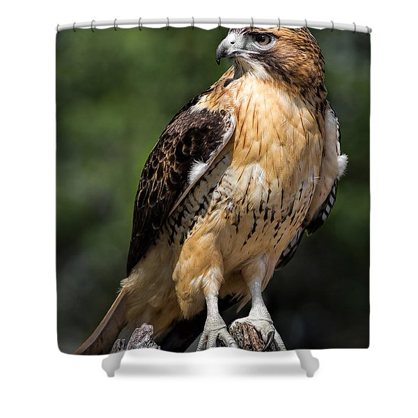 Red Tail Hawk Portrait Shower Curtain