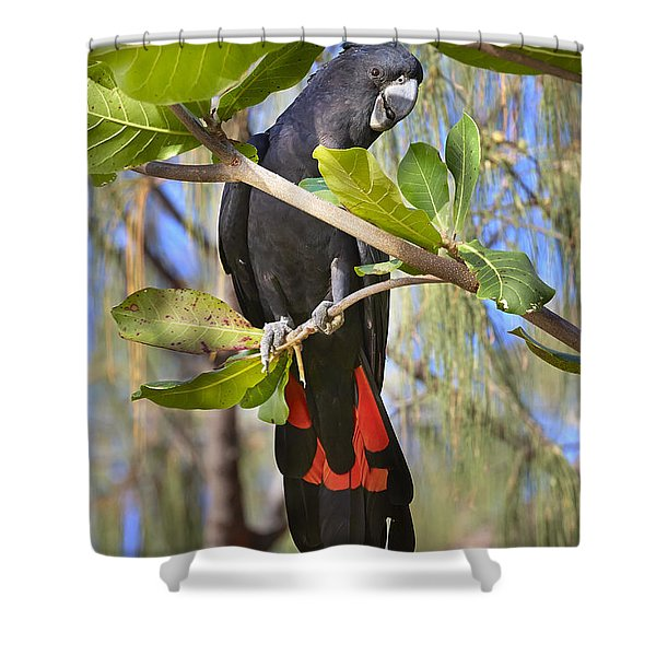 Red-tailed Black-cockatoo Queensland Shower Curtain