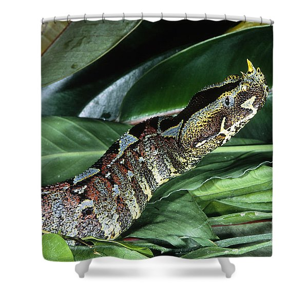 Rhino Viper Bitis Nasicornis Shower Curtain