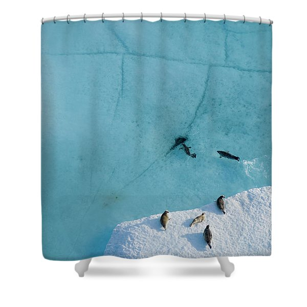Ringed Seals Hauled Out On Multi-layer Shower Curtain