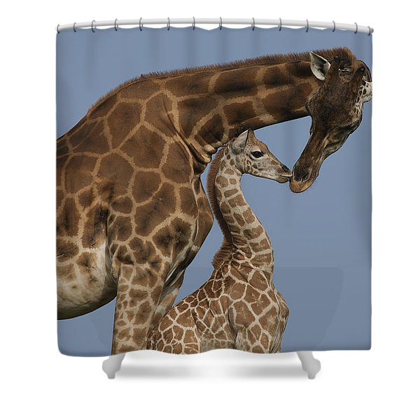 Rothschild Giraffe And Calf Nuzzling Shower Curtain