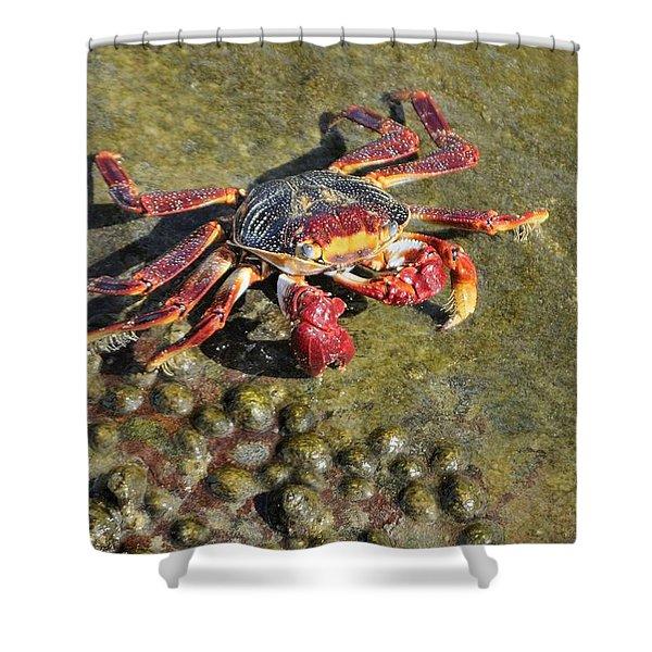 Sally Lightfoot Crab On Rock Shower Curtain