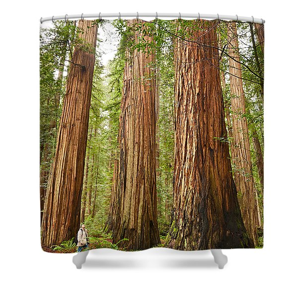 Scale - The Beautiful And Massive Giant Redwoods Sequoia Sempervirens In Redwood National Park. Shower Curtain