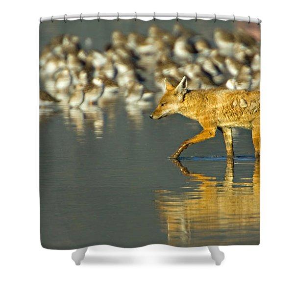 Side Profile Of A Golden Jackal Wading Shower Curtain
