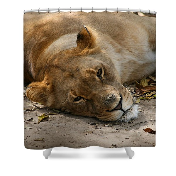 Sleepy Lioness Shower Curtain