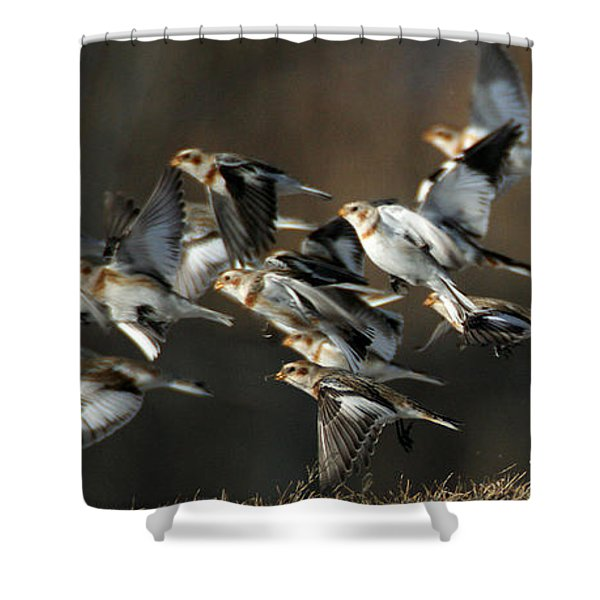 Shower Curtain featuring the photograph Snow Buntings Taking Flight by William Selander