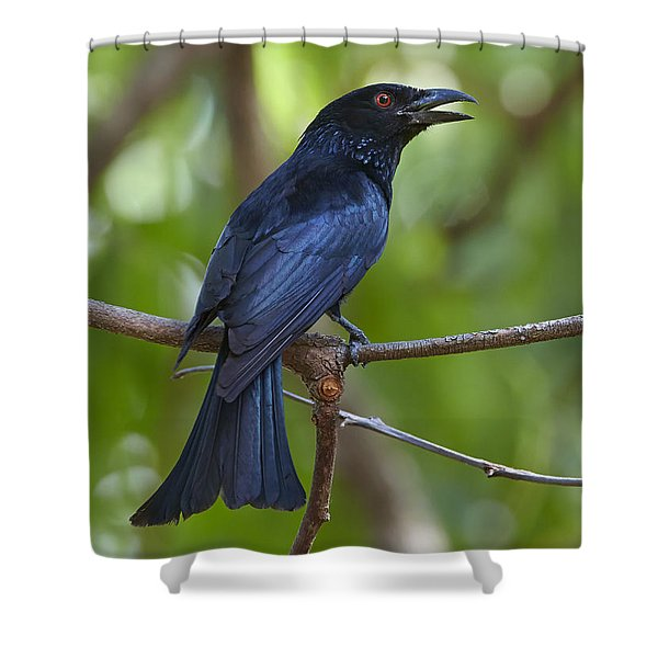 Spangled Drongo Calling Queensland Shower Curtain