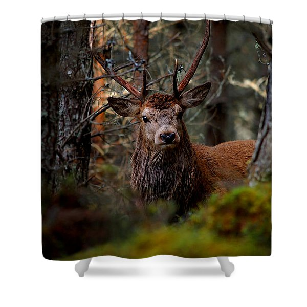 Stag In The Woods Shower Curtain