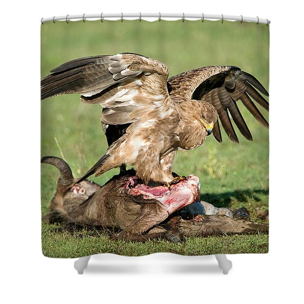 Tawny Eagle Aquila Rapax Eating A Dead Shower Curtain