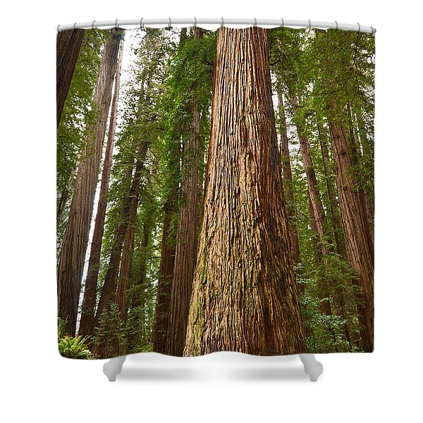 The Survivor - Massive Redwoods Sequoia Sempervirens In Redwoods National Park Named Stout Tree. Shower Curtain