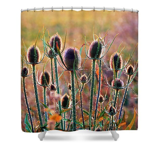 Thistles With Sunset Light Shower Curtain