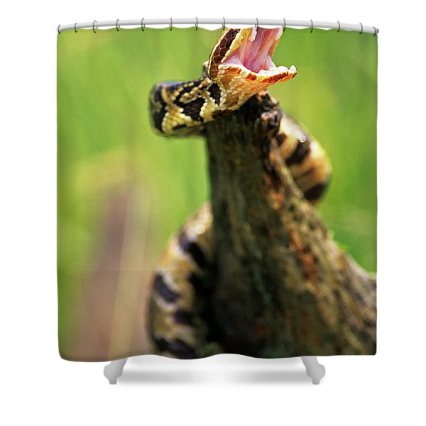 Threatening By Displaying Fangs Shower Curtain