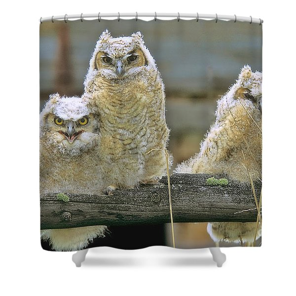 Three Great-horned Owl Chicks Shower Curtain