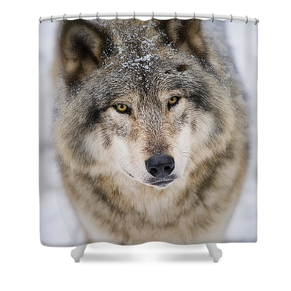 Timber Wolf Pictures 254 Shower Curtain