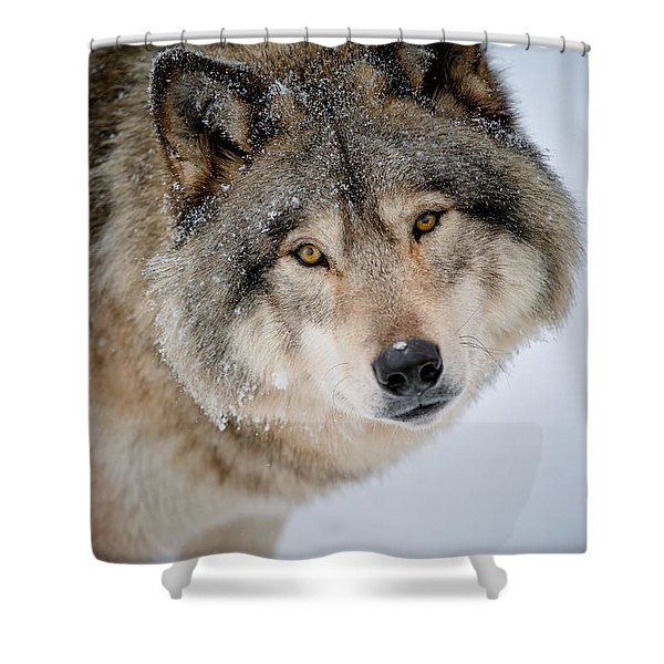 Timber Wolf Pictures 255 Shower Curtain