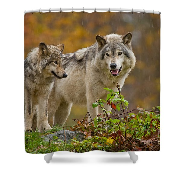 Timber Wolf Pictures 411 Shower Curtain
