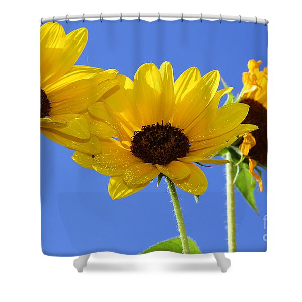 Trio In The Sun - Yellow Daisies By Diana Sainz Shower Curtain