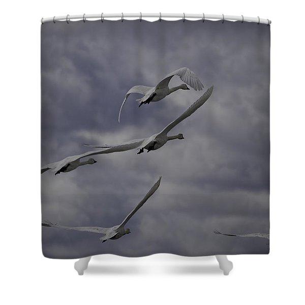 Tundra Swans Taking Flight 1 Shower Curtain