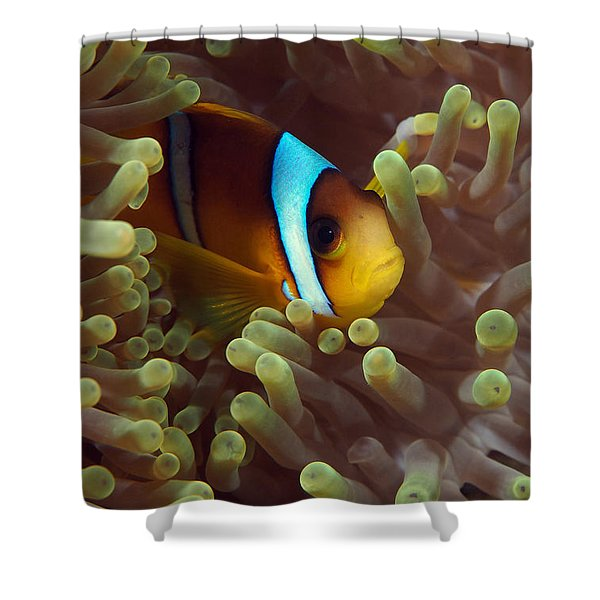 Two-banded Anemonefish Red Sea Egypt Shower Curtain