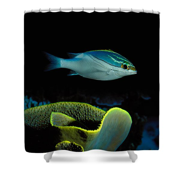 Two-lined Monocle Bream Scolopsis Shower Curtain