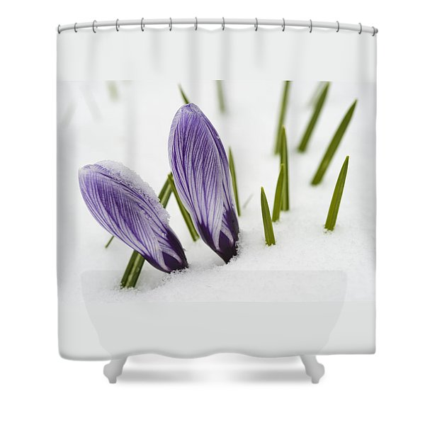 Two Purple Crocuses In Spring With Snow Shower Curtain