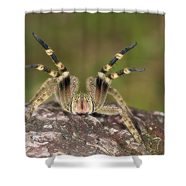 Wandering Spider In Defensive Posture Shower Curtain