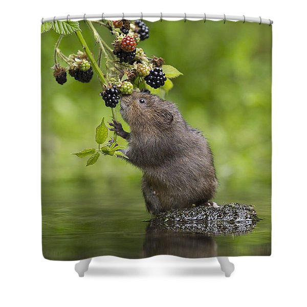 Water Vole Eating Blackberries Kent Uk Shower Curtain