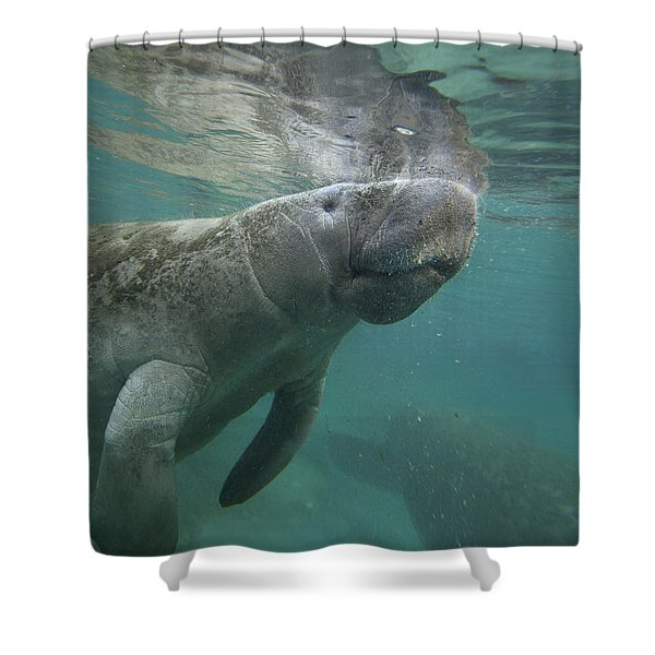 West Indian Manatee Crystal River Shower Curtain