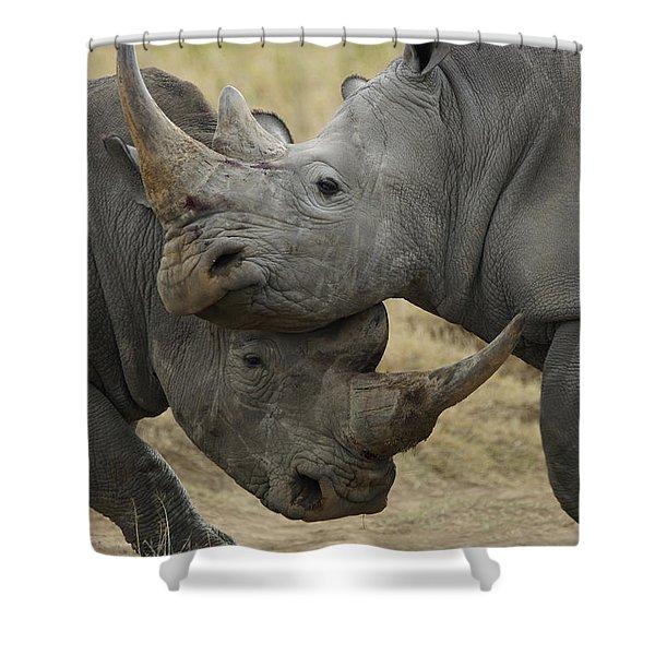 White Rhino Males Fighting Solio Game Shower Curtain