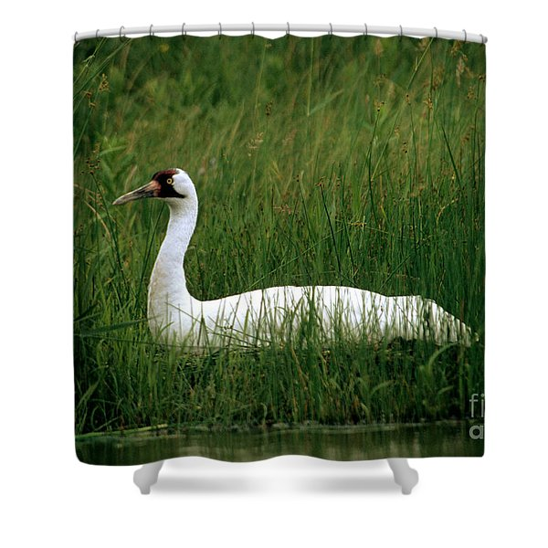 Whooping Crane On Artificial Nest Shower Curtain