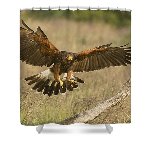 Wild Harris Hawk Landing Shower Curtain